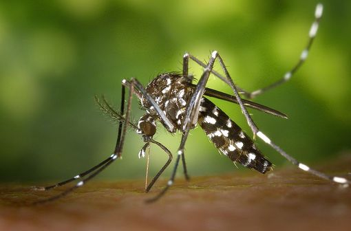 Un moustique tigre (Aedes albopictus) en train de se nourrir de sang (illustration, © Wikimedia Commons).