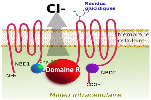 La protéine CFTR (Cystic Fibrosis Transmembrane Conductance Regulator) [illustration @ toony, sur Wikimedia].