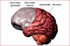 Les différentes méninges du cerveau humain (illustration).