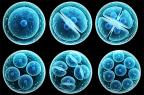 La cytarabine est un antimétabolite spécifique de la phase S du cycle cellulaire (illustration).