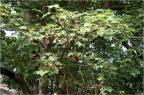 La gomme de Sterculia est une gomme végétale obtenue depuis l'exsudat des branches du Sterculia urens, un arbre originaire d'Inde et du Sri Lanka (illustration @J.M.Garg sur Wikimedia)