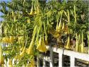 Alcaloïde tropanique présent chez les solanacées vireuses, la scopolamine est particulièrement abondante chez le brugmansia (ici sur la photo), notamment dans les graines (illustration @Jean Tosti sur Wikimedia).