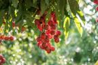 Saccharomyces boulardii est une souche tropicale de levure isolée pour la première fois en 1923 à partir de fruits de litchis et de mangoustans, par le scientifique français Henri Boulard (illustration).