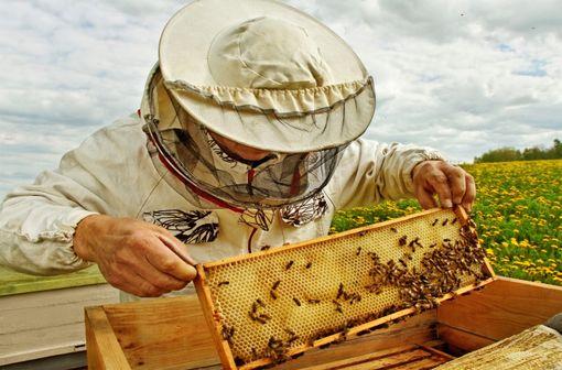 Comme les autres populations à risque, les apiculteurs sont prioritaires pour l'initiation d'une immunothérapie spécifique vis-à-vis des manifestations d'allergie au venin d'hyménoptères (illustration).