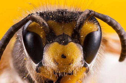 Tête d'abeille en vue macroscopique (illustration).