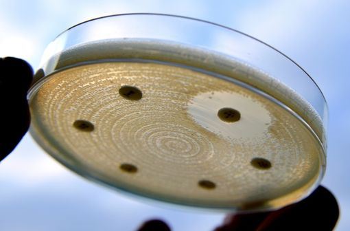 Antibiogramme réalisé sur des entérobactéries productrices de ß-lactamases à spectre élargi (illustration).