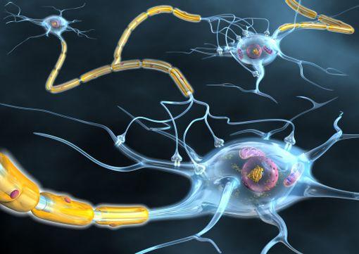 Dans la sclérose en plaques, des processus inflammatoires altèrent les gaines de myéline des neurones.