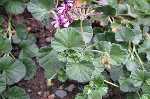 Variété de géranium, Pelargonium sidoides est une plante médicinale originaire d'Afrique du sud (illustration).