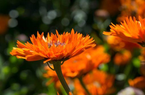 Très commun dans les régions méditerranéennes, le souci officinal croît dans la plupart des jardins et des friches sans avoir besoin d'y être semé, le vent faisant office de jardinier (illustration).