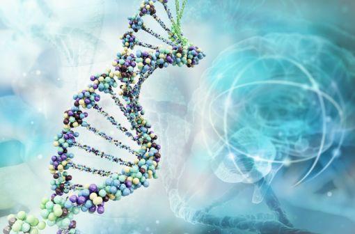 La maladie de Wilson est une maladie génétique autosomique récessive liée à la mutation d'un gène transporteur de métaux lourds, l'ATP7B porté par le chromosome 13 (illustration).