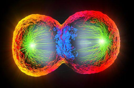 L'étoposide agit en inhibant l'entrée en mitose (prophase) des cellules tumorales (illustration).