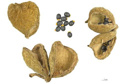 Fruits et graines de Sterculia setigera, une des 200 à 300 espèces d'arbres tropicaux du genre botanique Sterculia (photo @ Didier Descouens sur Wikimedia)