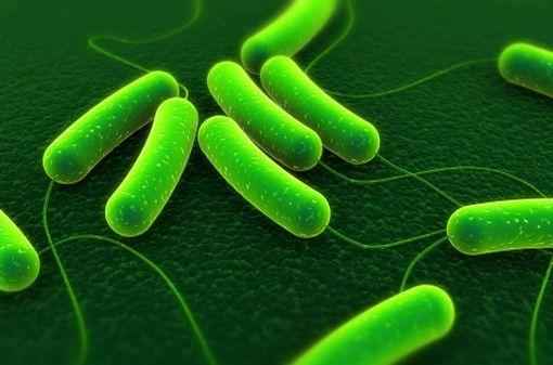 La bactérie Escherichia coli est le germe le plus souvent impliqué dans la survenue d'infections urinaires (illustration).
