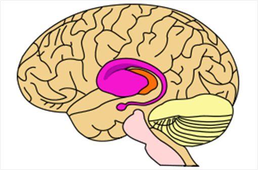 La maladie de Huntington est une affection neurodégénérative rare qui affecte surtout le striatum, composé du noyau caudé et du putamen (partie rose du schéma ci-dessus, © Wikipedia).