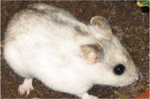 L'adalimumab est un anticorps monoclonal humain recombinant produit dans des cellules ovariennes de hamster chinois (illustration @Reinout Raijmaker sur Wikimedia).