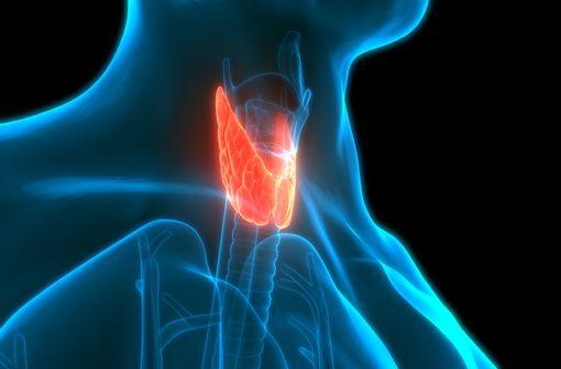 Représentation anatomique de la glande thyroïde chez l'Homme (illustration).