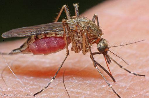 Maladie infectieuse due à un parasite du genre Plasmodium, le paludisme malaria est une propagé par la piqûre de certaines espèces de moustiques anophèles (illustration).