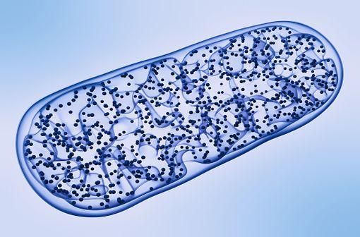 La carnitine intervient au sein de la cellule dans le transport des acides gras du cytosol vers les mitochondries lors du catabolisme des lipides dans le métabolisme énergétique (illustration).
