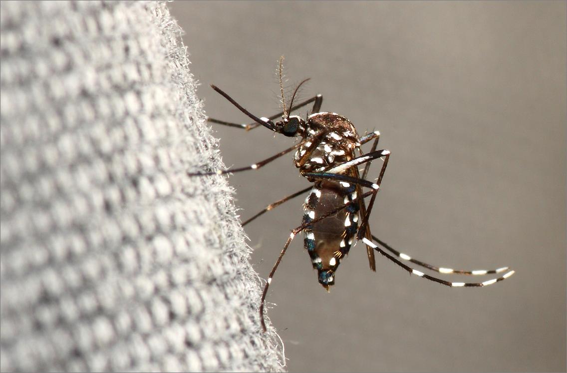Moustique tigre ou Aedes albopictus.