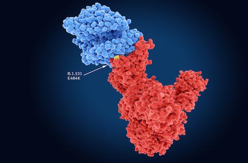 La mutation E484K de la protéine S de SARS-CoV-2 semble augmenter considérablement le risque de réinfection par ce virus (illustration).