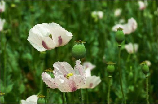 La naloxone est le principal antagoniste des récepteurs de la morphine, alcaloïde majoritaire de l'opium ou latex du pavot somnifère (illustration).