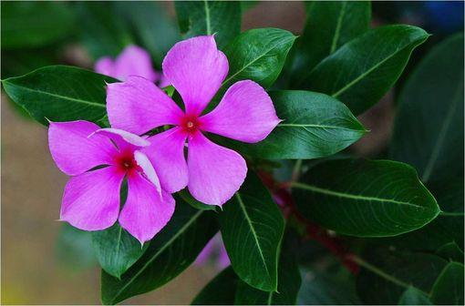 La vincristine est un principe actif isolé en 1965 à partir d'une fleur, la pervenche de Madagascar, qui contient un grand nombre d'alcaloïdes (illustration @Pancrat sur Wikimedia).