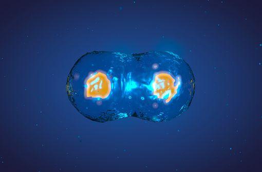 Le paclitaxel est un poison du fuseau mitotique qui inhibe la dépolymérisation des microtubules, bloquant le mécanisme de la mitose (illustration).