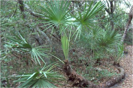 Serenoa repens est une espèce de palmiers nains qui pousse surtout en Floride (illustration @Homer Edward Price sur Wikimedia).