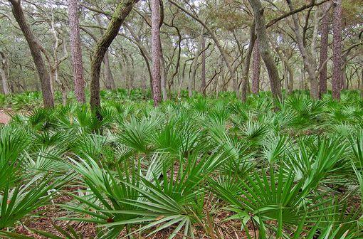 Serenoa repens est une espèce de palmiers nains appelés « palmiers de Floride » ou « choux palmistes » (illustration @Miguel Vieira sur Wikimedia)