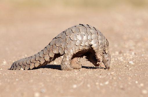 Un animal très recherché et très étudié (illustration).