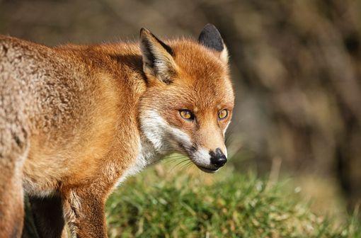 En Europe, les vecteurs de la rage peuvent être le renard, le loup, le blaireau, le chevreuil mais également le chien, le chat, le raton-laveur, la vache, et la chauve-souris (illustration).
