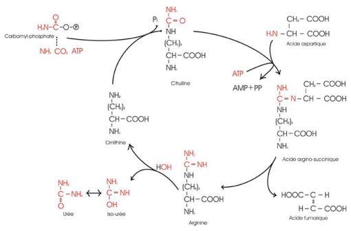 Cycle de l'urée (Illustration @Jmb462 sur fr.wikipedia).