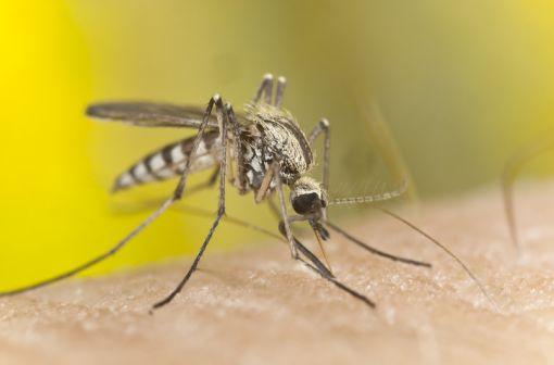 Le paludisme, ou malaria, est une maladie infectieuse due à un parasite du genre Plasmodium, propagée par la piqûre de certaines espèces de moustiques anophèles (illustration).