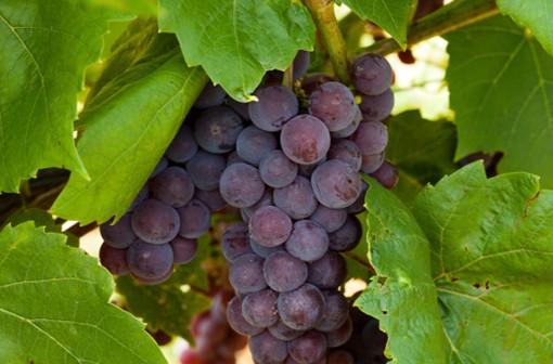 La peau des raisins noirs contient du resvératrol