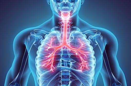 Représentation anatomique en 3D de l'arbre respiratoire humain (illustration)