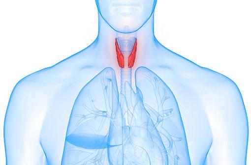 Représentation anatomique en 3D de la glande thyroïde (illustration).