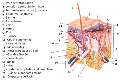 Vue histologique et anatomique de la peau (illustration @Wikimedia).