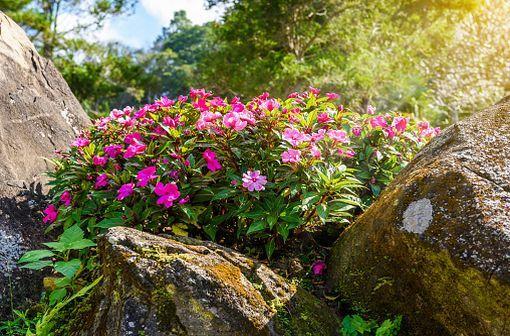 La vincristine est un principe actif isolé en 1965 à partir d'une fleur, la pervenche de Madagascar, qui contient un grand nombre d'alcaloïdes (illustration).