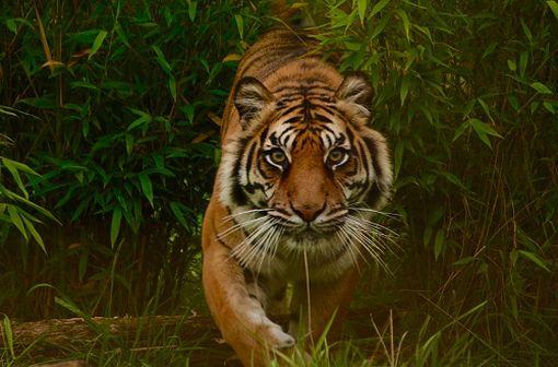 """Le nom Viagra viendrait du mot sanskrit """"vyaaghra"""" qui désigne le tigre (illustration)."""