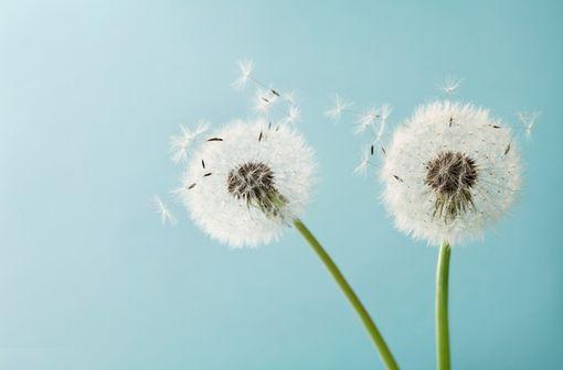 Allergies et COVID-19 : quand saison pollinique et épidémie se télescopent